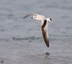 Little Gull photographed at Jaonneuse Bay on 6/1/2006. Photo: © Barry Wells