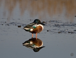 Shoveler photographed at La Claire Mare on 17/2/2007. Photo: © Barry Wells
