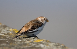 Snow Bunting photographed at Vazon Bay on 3/3/2007. Photo: © Barry Wells