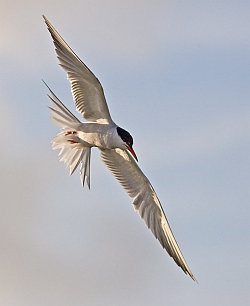 Common Tern photographed at Fish Quay, St Peter Port Harbour on 9/8/2008. Photo: © Barry Wells