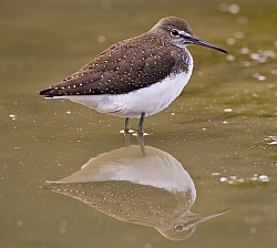 Green Sandpiper photographed at Rue des Bergers NR on 23/8/2008. Photo: © Barry Wells