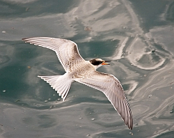 Common Tern photographed at Havelet Bay on 17/8/2008. Photo: © Barry Wells