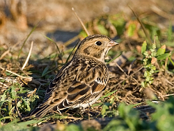 Lapland Bunting photographed at Pulias on 11/10/2008. Photo: © Barry Wells