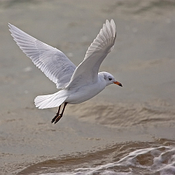 Mediterranean Gull photographed at Belle Greve Bay on 4/10/2008. Photo: © Barry Wells