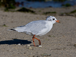 Mediterranean Gull photographed at Grande Havre on 4/8/2008. Photo: © Barry Wells