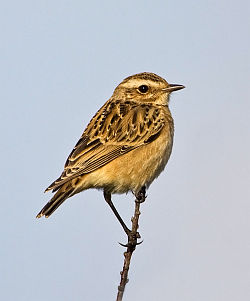 Whinchat photographed at Pleinmont on 23/8/2008. Photo: © Barry Wells