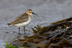 Dunlin photographed at Fort le Crocq on 12/9/2008. Photo: © Steve Levrier