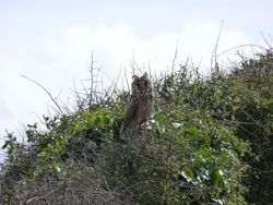 Long-eared Owl photographed at Pleinmont on 29/8/2009. Photo: © julian medland