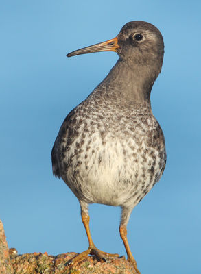 Purple Sandpiper photographed at Grandes Rocques [GRO] on 17/2/2010. Photo: © Chris Bale