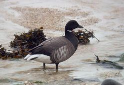 Brent Goose photographed at Rousse [ROU] on 25/2/2010. Photo: © Mark Lawlor