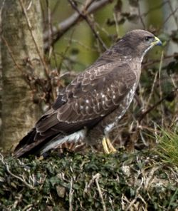 Buzzard photographed at Rue des Bergers [BER] on 6/4/2010. Photo: © Mike Cunningham