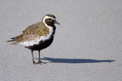 Golden Plover photographed at L\'Eree [LER] on 2/5/2010. Photo: © Paul Hillion