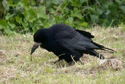 Rook photographed at Mont Herault on 16/5/2010. Photo: © Mark Lawlor