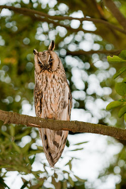 Long-eared Owl photographed at Chouet [CHO] on 26/7/2010. Photo: © Rod Ferbrache