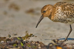 Dunlin photographed at L\'Eree [LER] on 28/8/2010. Photo: © Chris Bale