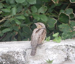 Wryneck photographed at leree headland on 4/9/2010. Photo: © Mark Guppy