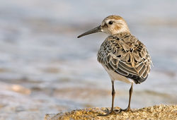 Dunlin photographed at Port Soif [SOI] on 5/9/2010. Photo: © Chris Bale