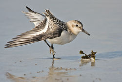 Sanderling photographed at Grandes Rocques [GRO] on 9/9/2010. Photo: © Chris Bale