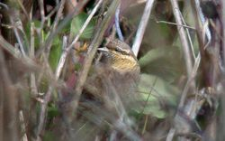 Wryneck photographed at Lihou Headland [LCH] on 10/9/2010. Photo: © Mark Lawlor