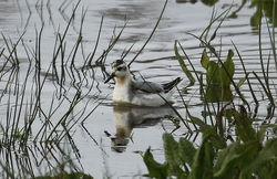 Grey Phalarope photographed at Claire Mare [CLA] on 14/11/2010. Photo: © Paul Bretel