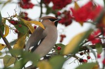 Waxwing photographed at L\'Aumone on 26/12/2010. Photo: © Jamie Rigler