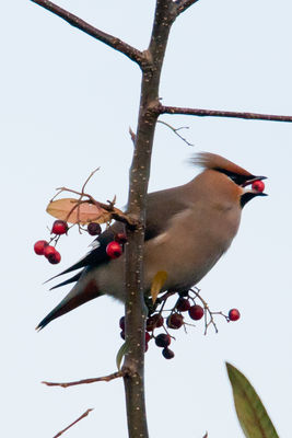 Waxwing photographed at Highland Estate on 30/12/2010. Photo: © Rod Ferbrache