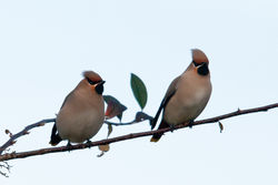 Waxwing photographed at Select location on 30/12/2010. Photo: © Rod Ferbrache