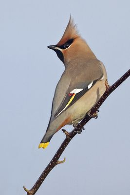 Waxwing photographed at Highland Estate, Castel on 30/12/2010. Photo: © Chris Bale