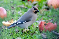 Waxwing photographed at Rue Cohu [COH] on 31/12/2010. Photo: © Royston Carr�