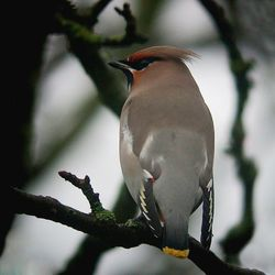 Waxwing photographed at Rue Cohu [COH] on 5/1/2011. Photo: © Mark Lawlor