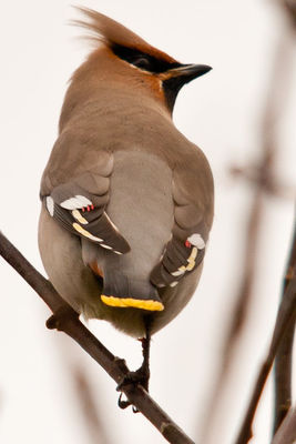 Waxwing photographed at Rue Cohu [COH] on 2/1/2011. Photo: © Rod Ferbrache
