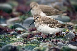 Dunlin photographed at Grandes Rocques [GRO] on 4/1/2011. Photo: © Paul Hillion