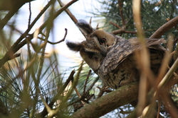 Long-eared Owl photographed at Chouet [CHO] on 12/2/2011. Photo: © Cindy  Carre