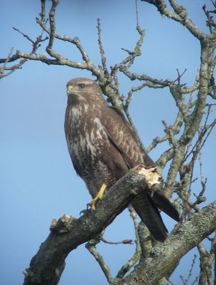 Buzzard photographed at Talbot Valley [TAL] on 20/3/2011. Photo: © Mark Guppy
