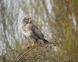 Buzzard photographed at Rue des Bergers [BER] on 3/4/2011. Photo: © Mark Guppy