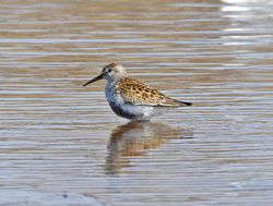 Dunlin photographed at Claire Mare [CLA] on 18/4/2011. Photo: © Mike Cunningham