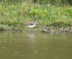 Green Sandpiper photographed at Rue des Bergers [BER] on 27/4/2011. Photo: © Adrian Gidney
