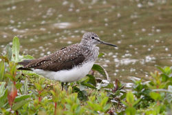 Green Sandpiper photographed at Rue des Bergers [BER] on 28/4/2011. Photo: © Rod Ferbrache