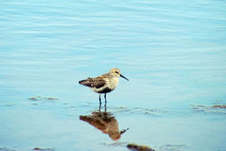 Dunlin photographed at Claire Mare [CLA] on 15/5/2011. Photo: © Cindy  Carre