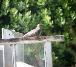 Cuckoo photographed at Fort Le Crocq [FLC] on 21/7/2011. Photo: © Mark Guppy