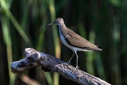 Green Sandpiper photographed at Grands Marais/Pre [PRE] on 30/7/2011. Photo: © Vic Froome