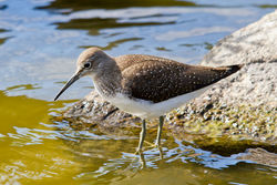 Green Sandpiper photographed at Grands Marais/Pre [PRE] on 3/8/2011. Photo: © Rod Ferbrache