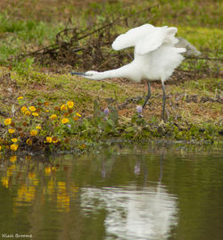 Little Egret photographed at Rue des Bergers [BER] on 7/8/2011. Photo: © Niall Broome