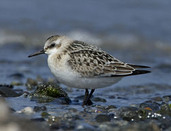 Sanderling photographed at Vazon [VAZ] on 5/9/2011. Photo: © Mike Cunningham