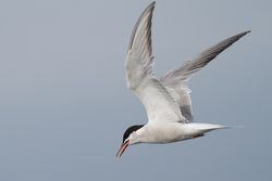 Common Tern photographed at Pelagic [PEL] on 25/9/2011. Photo: © Phil Alexander
