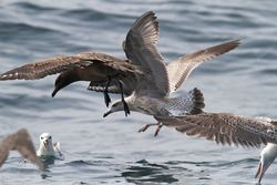 Great Skua photographed at Pelagic [PEL] on 25/9/2011. Photo: © Phil Alexander
