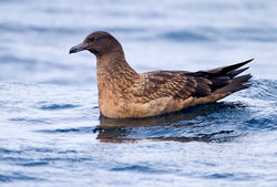 Great Skua photographed at Pelagic [PEL] on 25/9/2011. Photo: © Chris Bale