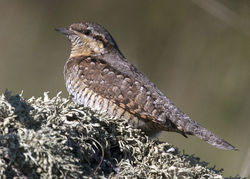 Wryneck photographed at Pulias [PUL] on 28/9/2011. Photo: © Cindy  Carre