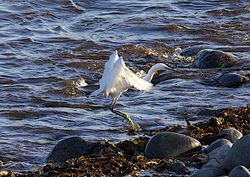 Little Egret photographed at Pulias [PUL] on 2/10/2011. Photo: © Royston Carr�