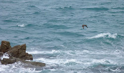 Great Skua photographed at Chouet [CHO] on 8/10/2011. Photo: © Mark Lawlor